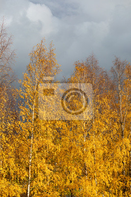 Birch tree top against cloudy sky