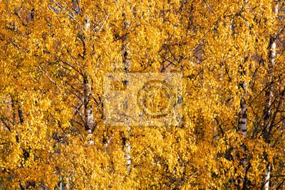 Birch trees autumn yellow foliage background
