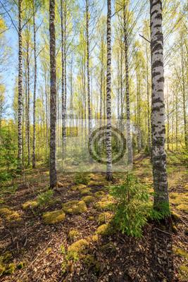 Birchwood at summer