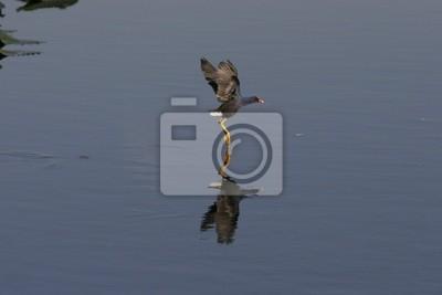 bird walks on water