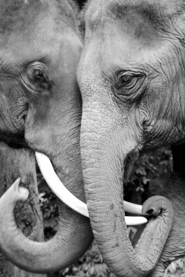 Wall mural Black and white close-up photo of two elephants being affectionate.