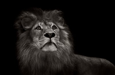 Wall mural black and white lion