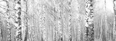 Wall mural black-and-white photo with white birches with birch bark in birch grove