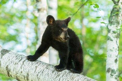 Wall mural Black Bear Cub (Ursus americanus) Turns on Branch