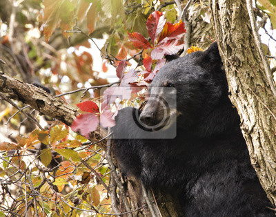 Wall mural Black Bear in a Tree in Autumn