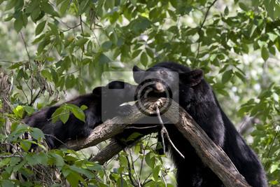 Black Bear Mom and Cub Sleeping in Tree