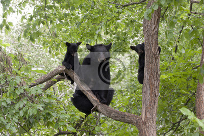 Black Bear Mom and Two Cubs in a Tree
