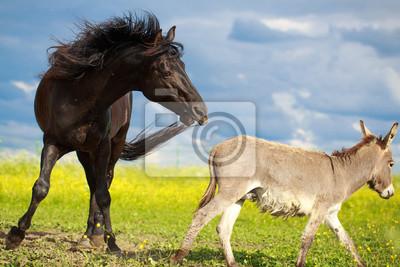 black horse and gray donkey play
