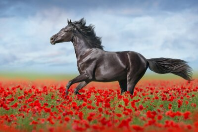 Black horse free run gallop in red poppy flowers