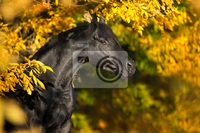 Black horse in yellow trees