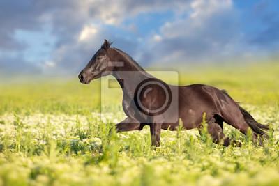 Black horse run gallop on flowers meadow