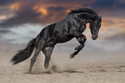 Black horse stallion play and jump in desert dust