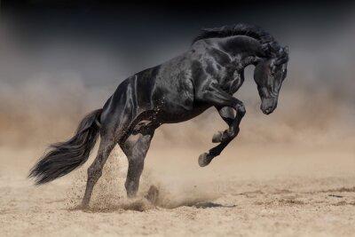 Black horse stallion play and jump in desert dust against dramatic dark background