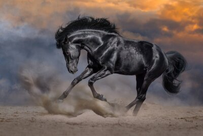 Black horse with long mane run fast against dramatic sunset sky