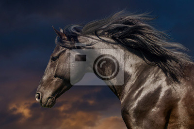 Black stallion in motion portrait isolated against sunset sky