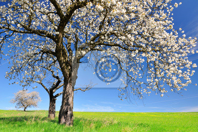 Blooming cherry tree on meadow