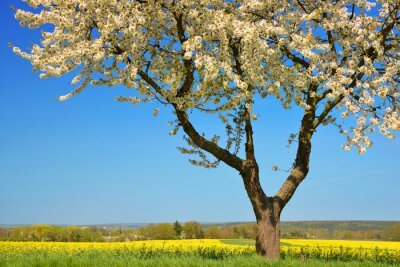 Blooming cherry tree with rapeseed field. Spring rural landscape with clear blue sky.