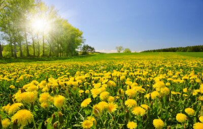 Blooming dandelions on meadow.Spring landscape with sunny sky.