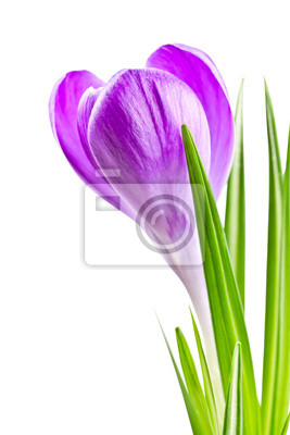 Wall mural blooming spring crocus flower lilac color