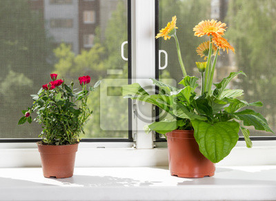 Blossoming indoor flowers gerbera and roses in flowerpots on windowsill on sunny summer day.