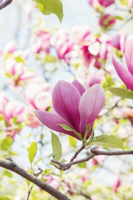 Wall mural Blossoming of pink magnolia flowers in spring time