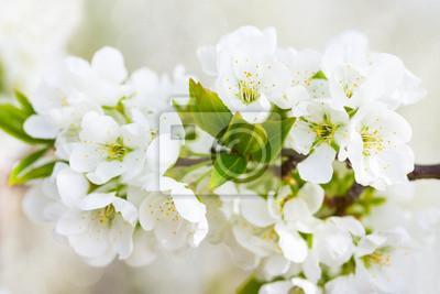 blossoming plum
