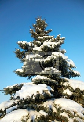 blue spruce in the snow