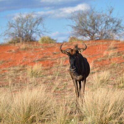 Wall mural Blue wildebeest antelope