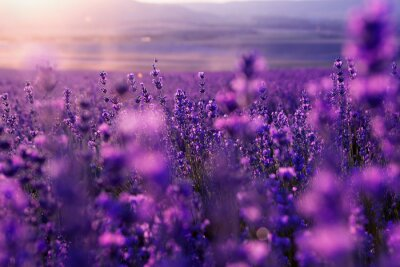 Wall mural blurred summer background of wild grass and lavender flowers