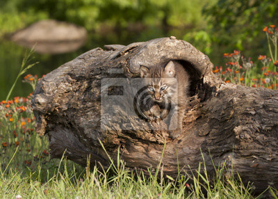 Wall mural Bobcat Kitten Coming out of Hiding Place in a Log