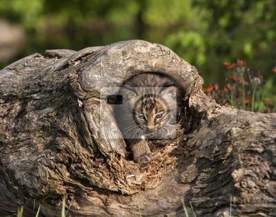 Bobcat Kitten in Log