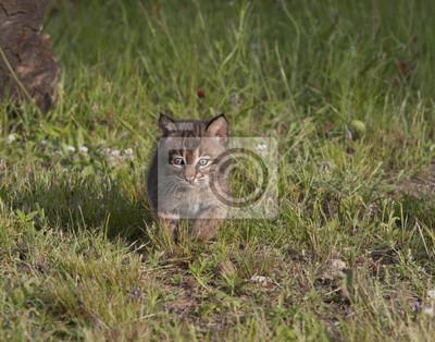 Bobcat Kitten Running Through Meadow