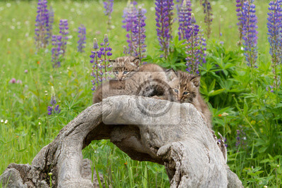 Bobcat Kittens on a Log with a Background of Purple Lupine