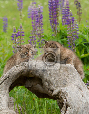 Wall mural Bobcat Kittens Posing on a Log with Purple Lupine in the Background