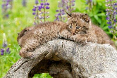 Bobcat Kittens Snuggling on a Log