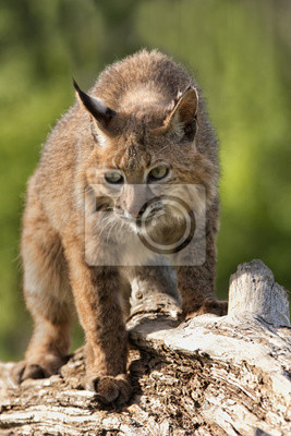 Bobcat Walking Along a Log
