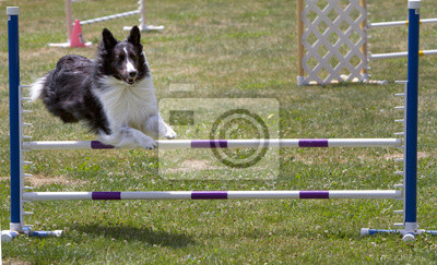 Wall mural Border Collie Agility Jumping