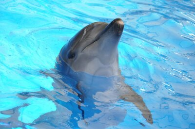 Wall mural bottlenose dolphin in blue water
