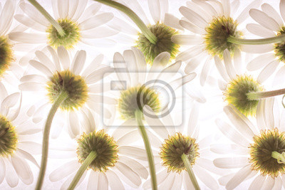Bottom view of daisy flowers