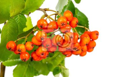 Branch rowan with ripe berries
