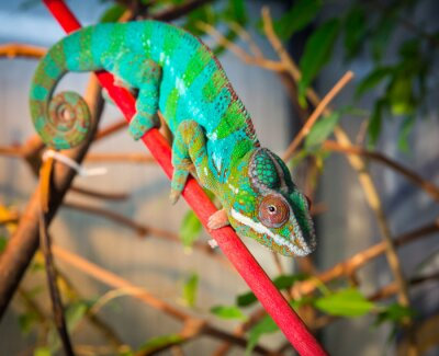 Wall mural Bright and colorful chameleon sitting on a branch