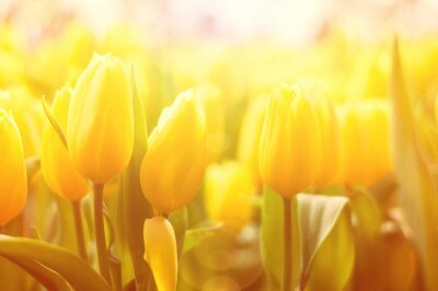Wall mural Bright floral background with yellow tulips and sun light effect
