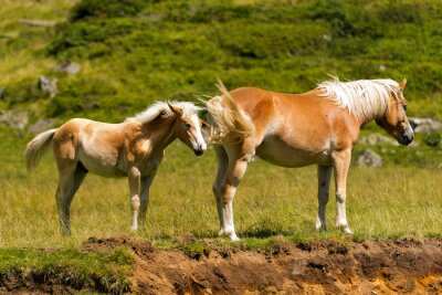 Wall mural Brown and White Mare with Foal / Brown and white horse with foal in mountain. National Park of Adamello Brenta, Trentino Alto Adige, Italy