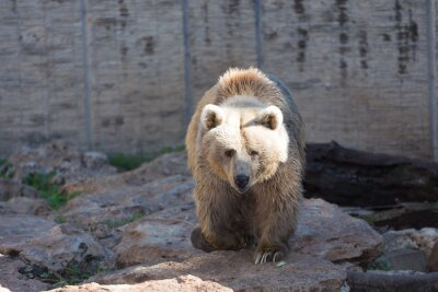 Wall mural Brown Bear