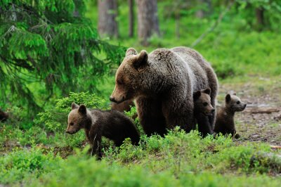Wall mural Brown bear with cubs in the forest