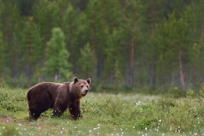Wall mural brown bear with forest background