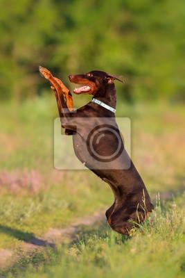 Brown doberman do trick outdoor