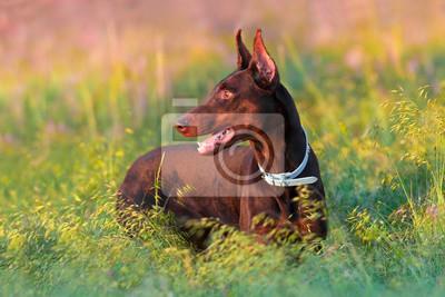 Brown doberman in grass at sunset light