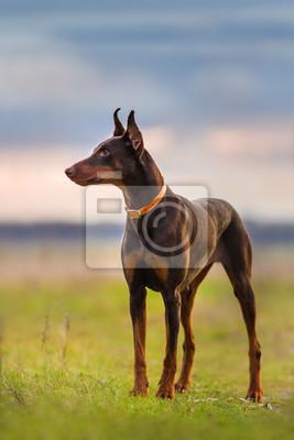 Brown doberman standing in green field at sunrise