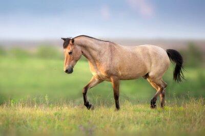 Buckskin Horse run gallop on spring green meadow